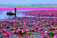 Thăm thú hồ hoa súng đẹp tuyệt vời ở vùng Udon Thani, Thái Lan