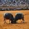 Koh Samui Thái Lan - Lễ hội chọi trâu đấu bò