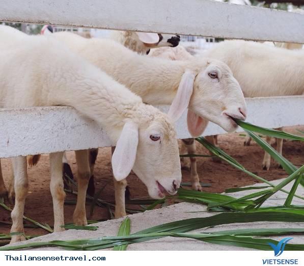 Pattaya Sheep Farm - Ảnh 4